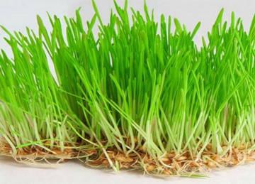 Зеленые ростки пшеницы менее ценные, чем белые длиной 2-3 мм