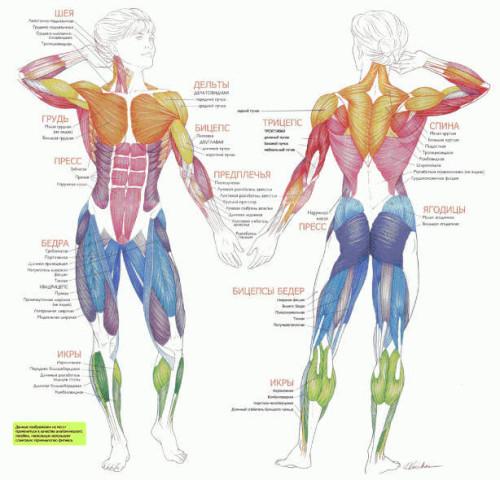 Мышцы, тренируемые на эллипсоиде