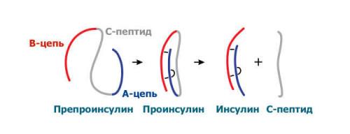 Процесс образования с-пептида