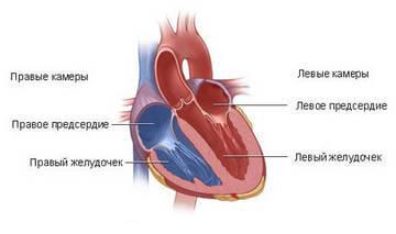 Сердце человека в разрезе