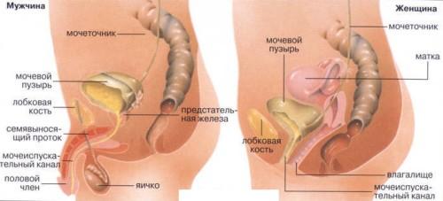 Строение мочеполовой системы женщины и мужчины