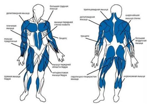 Мышцы, задействованные при тренировке на гребном тренажере