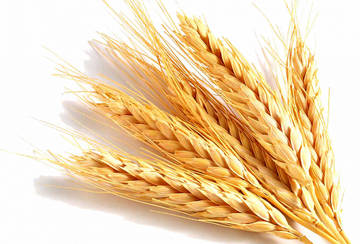 Колосья пшеницы