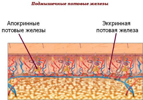 Виды потовых желез