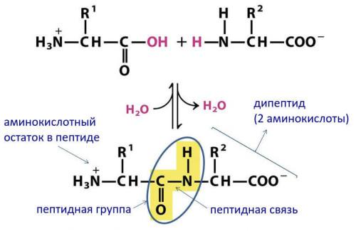 Образование пептидной связи из двух аминокислот