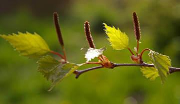 Березовые листья используются как мочегонное