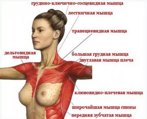 Строение женской груди: грудные мышцы и молочная железа
