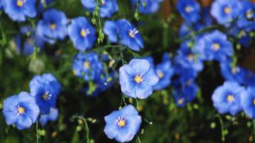 Лен цветет