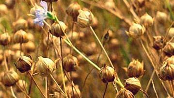 Коробочки льна с созревшими семенами
