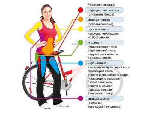 Какие мышцы работают на велотренажере?