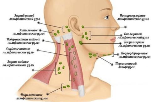 Схема расположения лимфоузлов